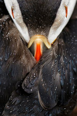 A detail of a puffin on Skomer island in Wales won Mario Suarez Porras a prize in animal portraits