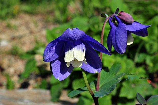 6-7월 매발톱꽃