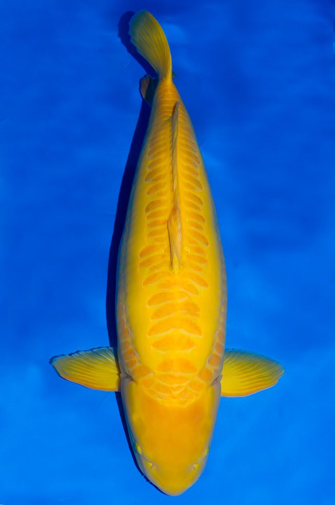 1000 images about les poisons on pinterest cichlids for Yellow koi fish
