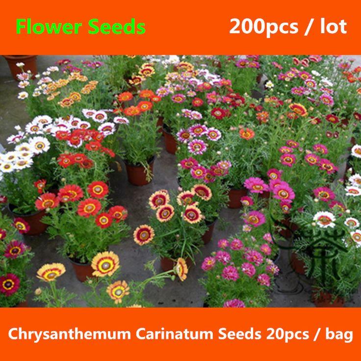 Украшать хризантемы Carinatum семена 200 шт., Лето хризантемы ручная роспись дейзи семена цветов, Триколор хризантемы семена