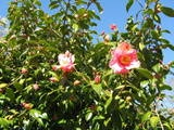 Camelia Tree at the beach 3-11