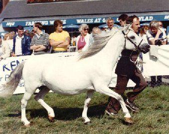 Coed Coch Lili, Welsh mountain pony foaled 1975. By Coed Coch Pryd x Coed Coch Tarian