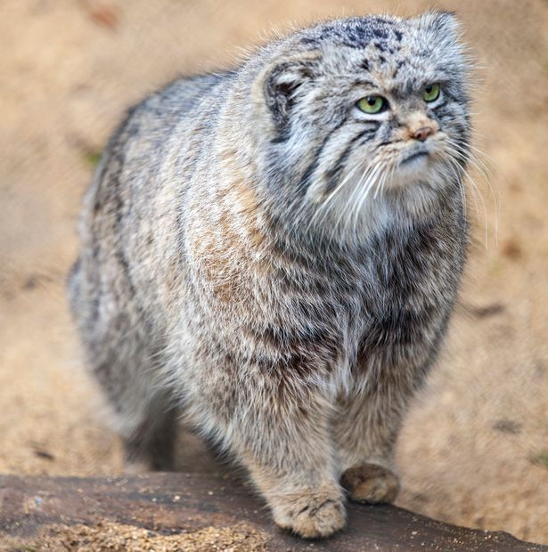 Pallas Cat - Southern Siberia   classified as 'Near Threatened'