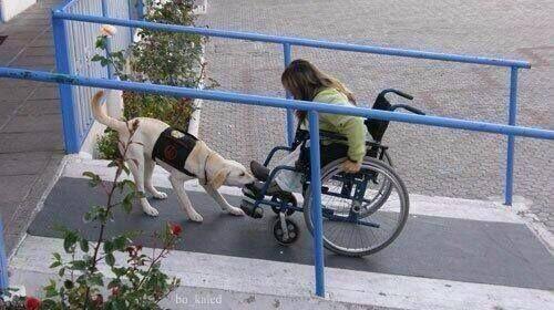 Een metgezel hond helpt een meisje in rolstoel op de helling door het trekken van de voetsteun aan de kaak