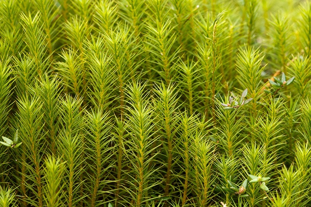 Hair moss--Polytrichum moss by Mark at Magdalen, via Flickr