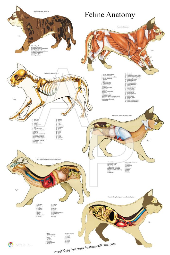 Cat anatomy poster created with hand drawn illustrations.