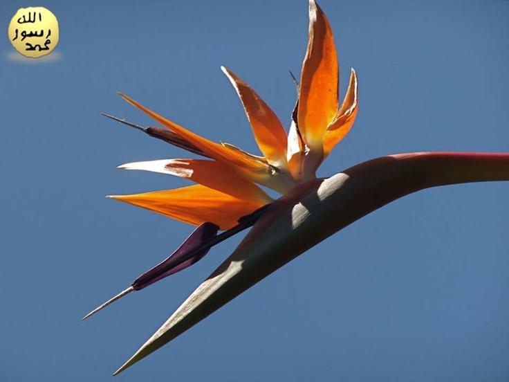 Muzgillerdendir. Anavatanı Afrika'dır. Saksıda yetiştirildiğinde 1 m kadar uzayıp, çevresine 60 cm kadar yayılabilir.