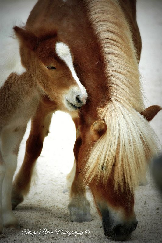 Shetland Pony with colt - one of the breeds that inspires one of our luxury suites