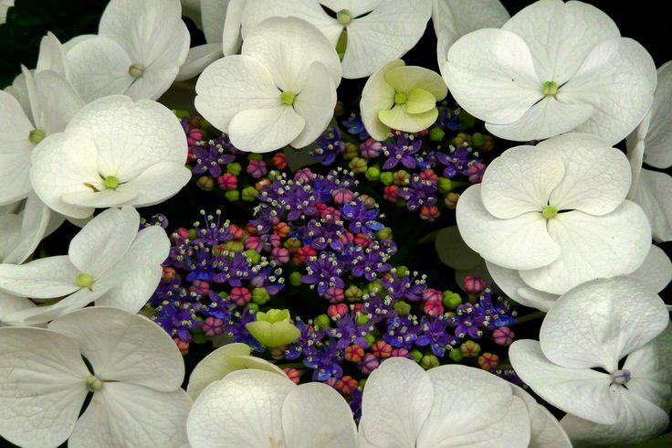 BUGA - Blumen (3) Weiße Tellerhortensie von Mohr Wilfried