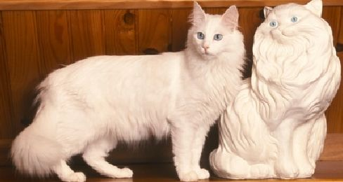 Kucing Anggora   Tazesiru Cat's House   Angora cats ...