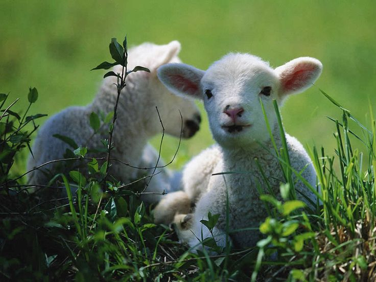 Image result for happy lambs