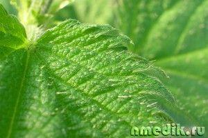 Лечение крапивой - заболевания печени, почек, мочевыводящих путей и желчных протоков