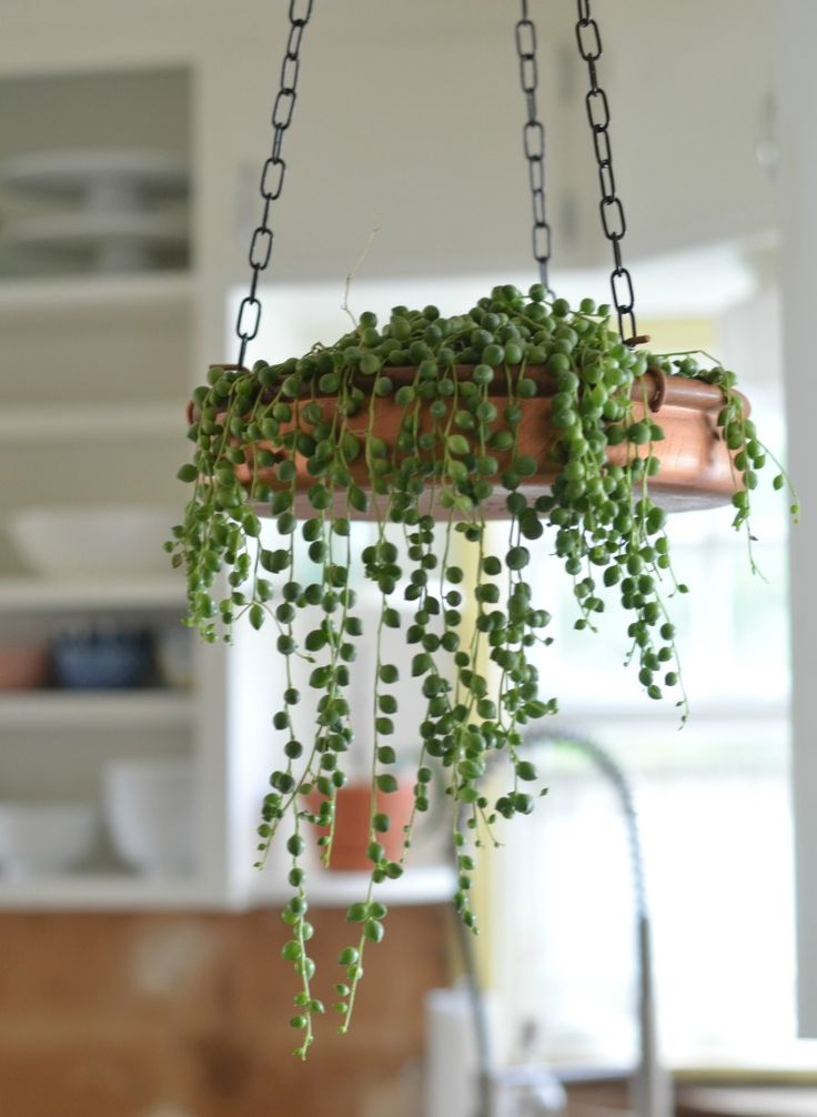 String of Peals Plant: Easy to moderate to care for and anything hanging will let the plant to beautifully cascade over the sides.