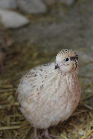 Japanese quail colours german page Farbschläge der Japanwachtel - www.wachtelhof-dittrich.de - Alles rund um die Wachtelzucht !