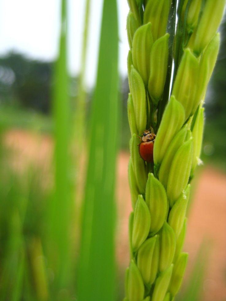 My lovely 'Lady ... bug.' by Churaipon C. Klaijumlang