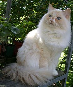 The Ragamuffin (often spelled RagaMuffin) is a breed of domestic cat, a variant of the Ragdoll, that first made its appearance in 1994. Ragamuffins are notable for their friendly personalities and thick, rabbitlike fur.