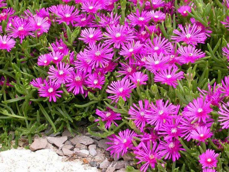 Delosperma cooperi (Hardy Ice Plant, Trailing Ice Plant, Purple Ice Plant) World of Succulents