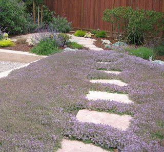 drought tolerant gardening purple thyme lawn, no mow, aromatic and gardening inspiration!