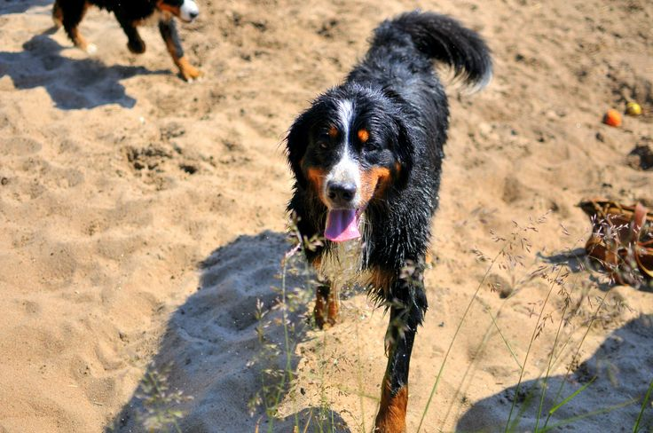 How would a beach party sound with Bernese Mountain Dog? Get your toys ready and enjoy the sun! Bow bow! www.visitporvoo.fi