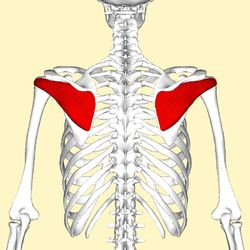 Infraspinatus: one of Rotator Cuff (stabilizes head of humerus in glenoid cavity, - laterally rotates the shoulder (g/h joint), adducts the shoulder (g/h joint), Extends Shoulder (g/h joint), O = Infraspinous fossa of scapula, I= Greater tubercle of humerus