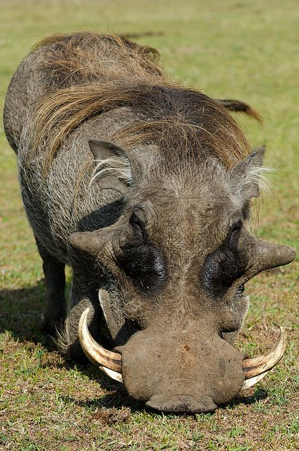Warthog -  Moments before he charged me. by Bradsview