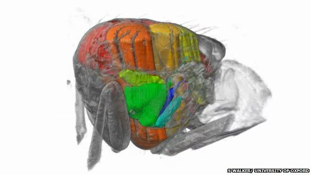 """BBC News - Scientists film inside a flying insect. Scientists from the UK and Switzerland have used very intense X-rays to film inside an insect's body as it flies.  The resulting footage - a 3D reconstruction made up of several X-ray snapshots - shows a blowfly's flight motor, the """"muscles and hinges"""" that power flight."""