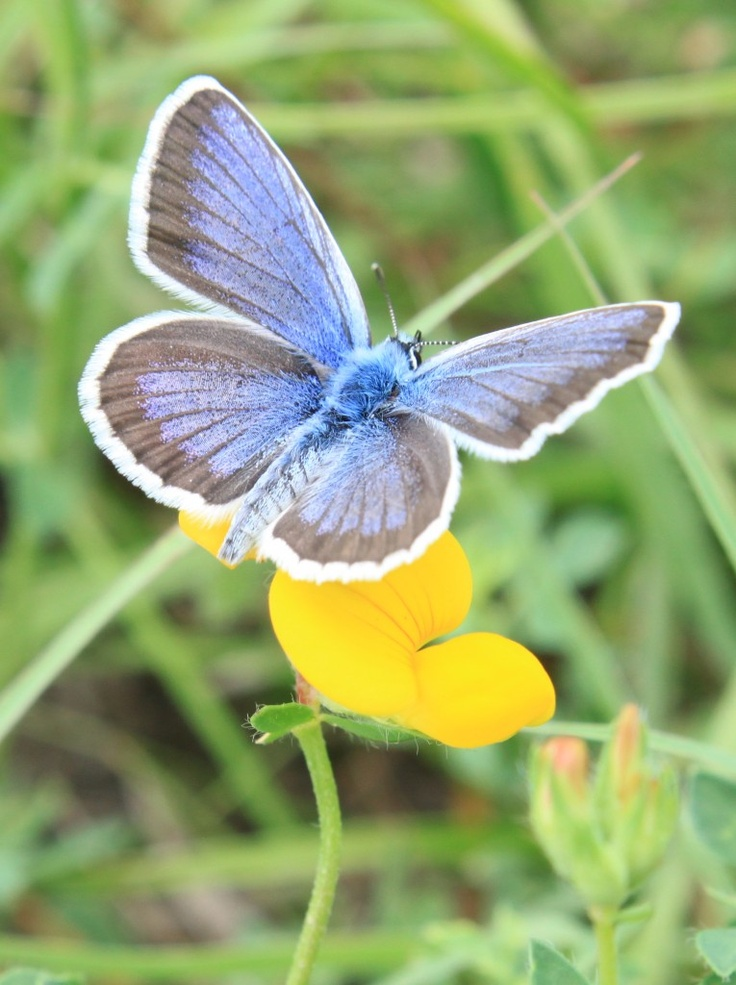 Common Blue Butterfly on wild Flowers (Polyommatus icarus) - Public Domain Photos, Free Images for Commercial Use