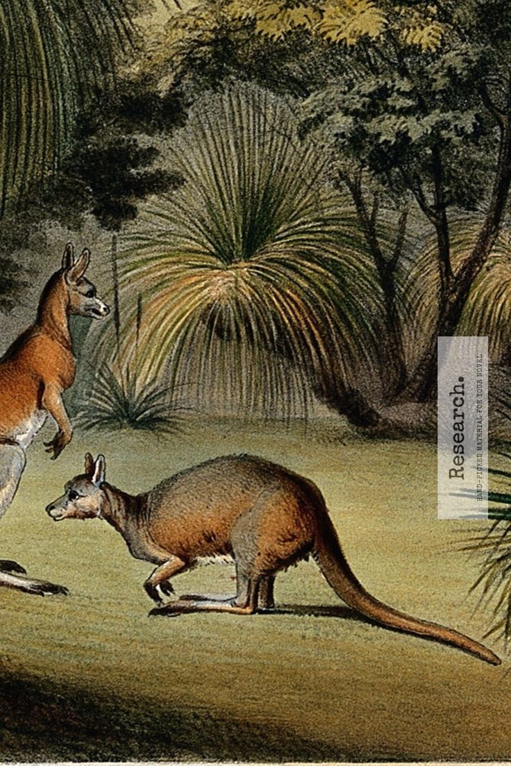 [Historical Fiction Prompt] Write about Australian Food in the 1860s   Image: Australian grass trees (Xanthorrhoea species) with red kangaroos. Image via Creative Commons Attribution only licence CC BY 4.0 from the 1860s.  http://howtowritehistory.com/australian-food-1860/