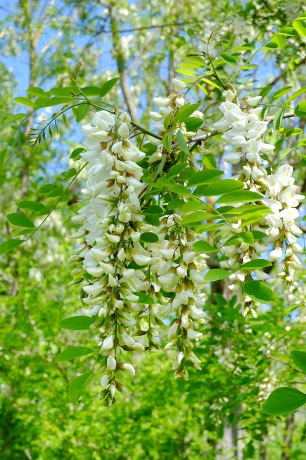 Fiori d'acacia - GranoSalis - Blog di cucina naturale e consapevole
