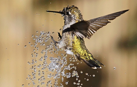 hummingbird playing in a fountain