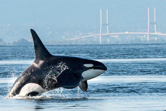www.pegasebuzz.com | Orca, orque, killer whale, black fish by Jon McCormack.