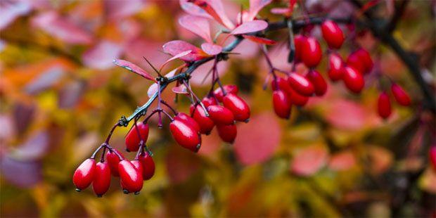 Früchte der Berberitze: Ihr Extrakt kann genutzt werden, um Magen-Darm-Grippe zu behandeln