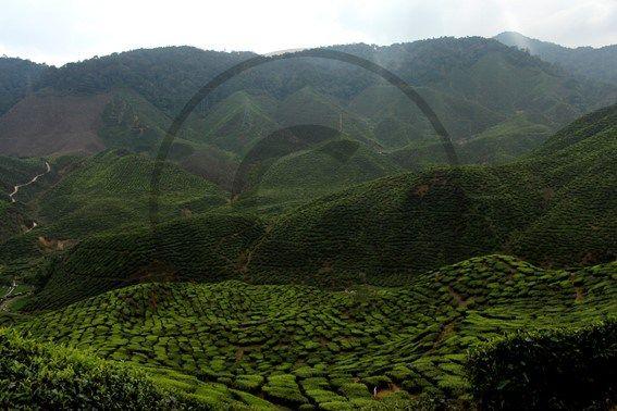 Cameron Highlands, plantations de thés - Malaisie | Christie Cartes $2 - Photo de Thibaud Laroche - christiecartes.com
