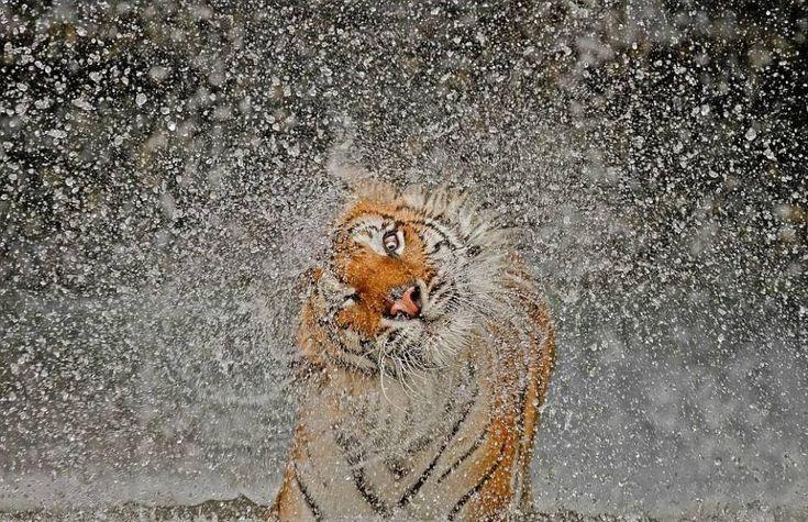 A Tiger Dries Its Fur