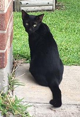 Pictures of Lil Momma a Domestic Shorthair for adoption in Santa Fe, TX who needs a loving home.