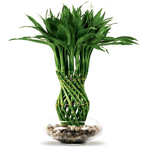 lucky bamboo plants | Lucky Bamboo Arrangement - Pineapple Braided Lucky Bamboo from ...