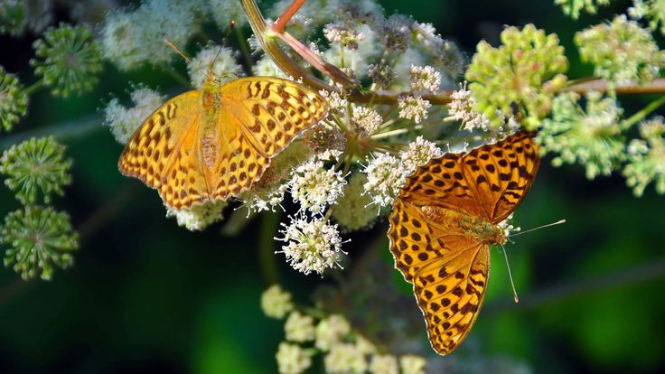 Фото: Butterflies of perlamutrovyy. Orange appearance. #butterfly #insects…