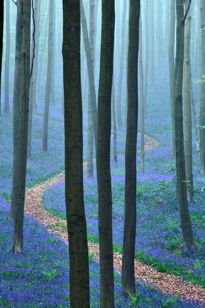 The Blue Forest, Belgium. Do these bluebell woods truly exist? I live in the American South, where it's a lot harder to picture enchanting woodland fairies amid the obnoxious vines that seem to take over for 8 months of the year.