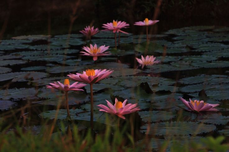 Bunga Teratai di Kebun Konda, Kendari, Sulawesi Tenggara, Indonesia