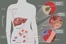 The life cycle of malaria parasites in the human body. A mosquito infects a person by taking a blood meal. First, sporozoites enter the bloodstream, and migrate to the liver. They infect liver cells (hepatocytes), where they multiply into merozoites, rupture the liver cells, and escape back into the bloodstream. Then, the merozoites infect red blood cells, where they develop into ring forms, trophozoites and schizonts which in turn produce further merozoites. Sexual forms (gametocytes) are…