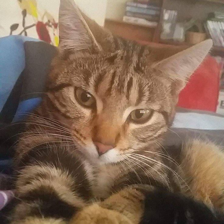 """""""What do you mean you need to work? Your only job is to fuss me human!"""" About to attempt a zoom call with a very clingy @msjunipercat"""