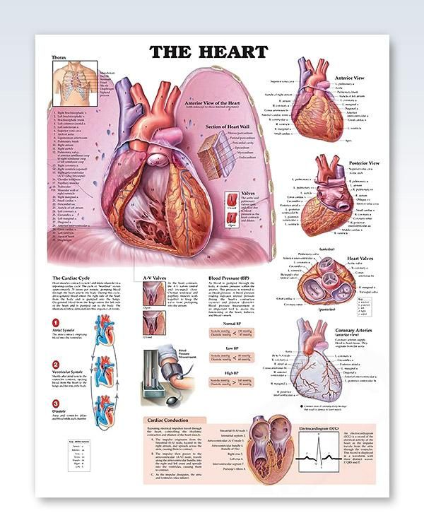 The Heart 20x26 Anatomy Poster