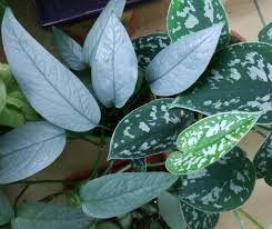 Epipremnum pinnatum 'Cebu Blue Pothos' (pictured with Scindapsus pictus)