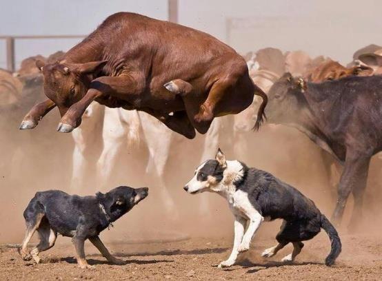 Made ya jump! - Herding Dogs by Mountain Vagabond on Tumblr - via Dana Lieurance