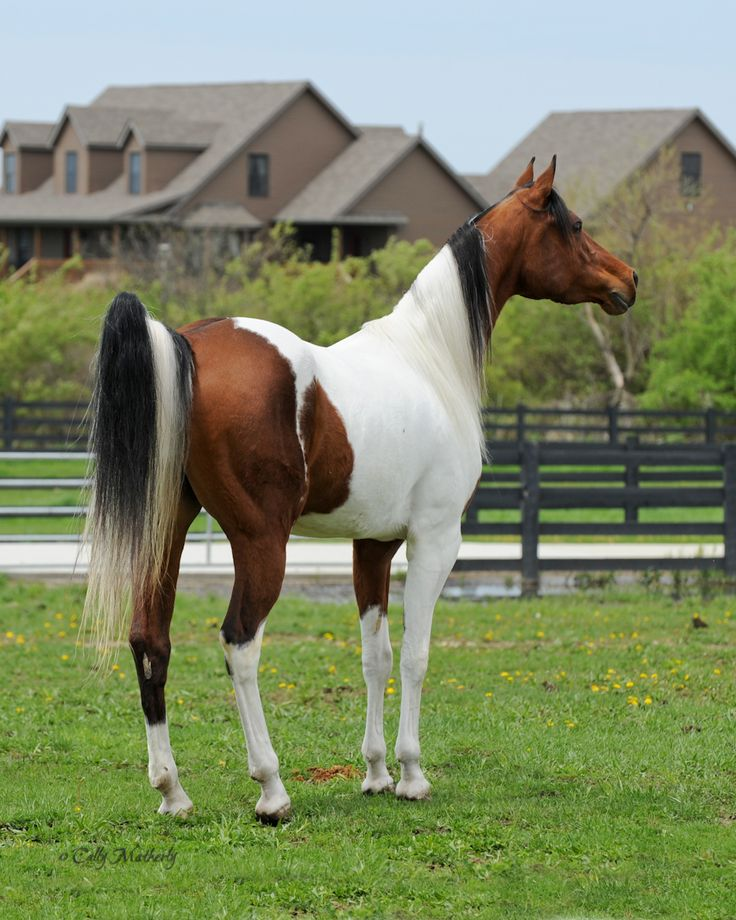 Best 25 Show Horses Ideas On Pinterest Equestrian