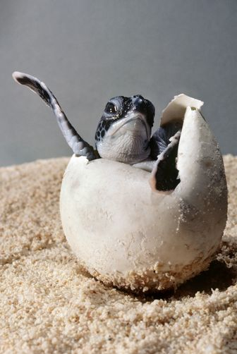 green sea #turtle hatchling, Chelonia mydas, emerging from its egg shell by David #Doubilet