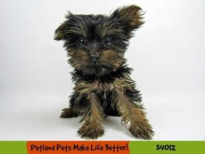 Puppies For Sale Puppies For Adoption Petland Rockford Il Pet