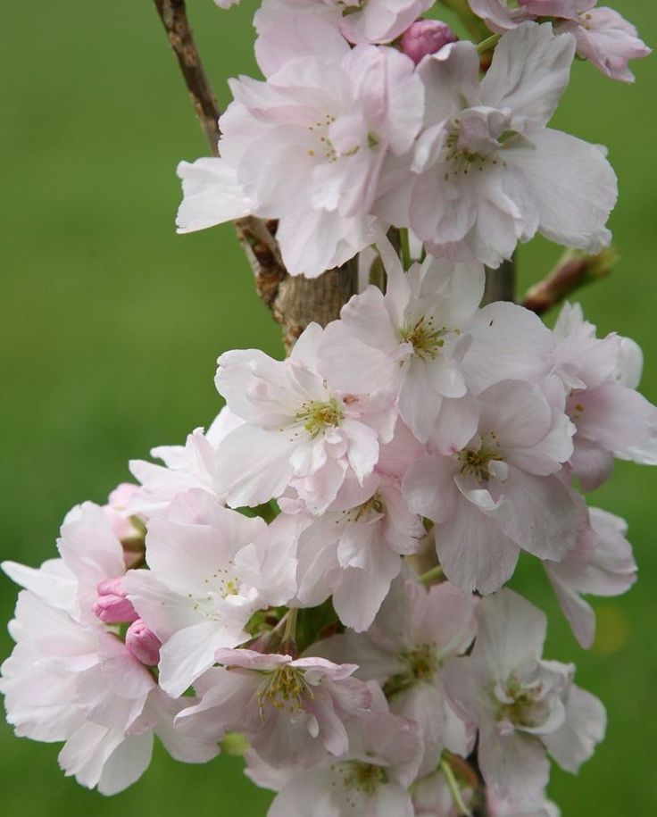 The Best Trees For Small Gardens Japanese Flowers Japanese Flowering Cherry Spring Flowering Bulbs