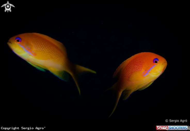 Anthias in Sharm El Sheikh - Egypt