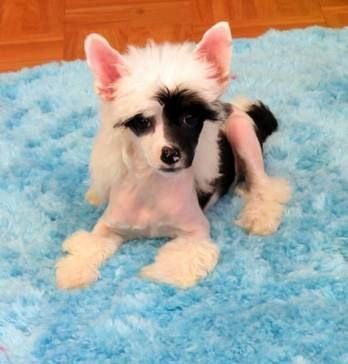 Chinese Crested Dog For Sale Ireland